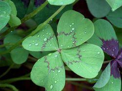 Клевер - символ удачи в любви